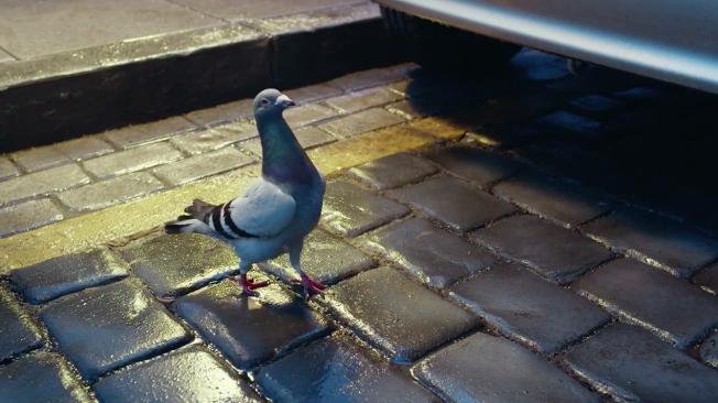 skanking-pigeon-hed-2015